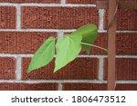 Scarlet Emperor Bean Plant...