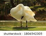 White Swan With A Curved Neck...