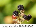 The European Blackberry  Rubus...