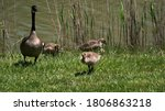Canadian Geese Family Walking...