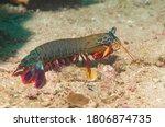 Peacock Mantis Shrimp  Painted...