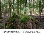 New Fern Growing On Dead Tree