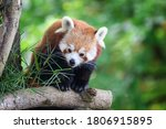 Red Panda  Also Known As The...