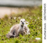 Young Barnacle Goose Resting I...