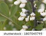 Flowers Of A White Wild Indigo...
