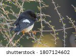South Island Tomtit Petroica...