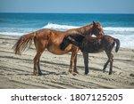 The Corolla Wild Horses Are...