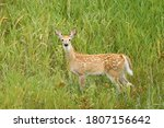 A Young Yearling White Tail...