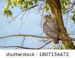 A Great Horned Owl On A Branch...