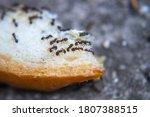 Closeup Ants Eating Fresh Baked ...
