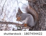 The Squirrel With Nut Sits On ...