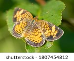 A Silvery Checkerspot Butterfly ...