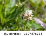 Detail Of White Clover In...