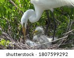 The Snowy Egret Is A Small...