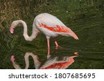 Beautiful Flamingo In The Water ...