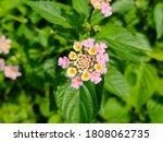 Lantana Camara Flowers And...