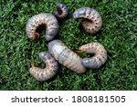 Some horn beetle larvae ...