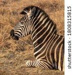 An Adult Zebra Lying Down In A...