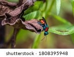 Cuckoo Wasps  Hedychrum Nobile  ...