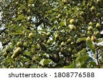 Green Pears On Fruit Tree In...