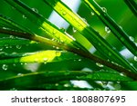 Water Droplets On Leaves....