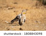 Egyptian Vulture Or Neophron...