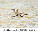 A Great Blue Heron Flies Over A ...