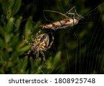 Cross Spider Hunting The Crane...