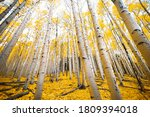 Aspen Trees With Golden Yellow...
