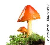 Two Orange And Yellow Mushrooms ...