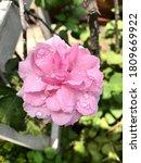 Beautiful Sweet Pink Bishop's...