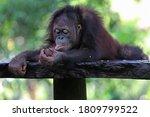 An Orangutan  Pongo Sp  Is...
