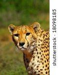 Постер, плакат: African Cheetah predator portrait
