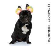 Happy French Bulldog Puppy...