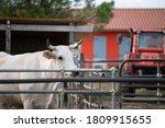 Female Chianina White Cow In...