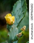 Cactus Flower Blossoms With...
