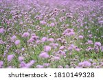 Beautiful Verbena Bush...