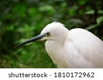 Beautiful White Egret With...