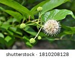 Cephalanthus Occidentalis Plant ...