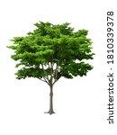 Isolated black ebony tree with...