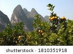 Orange Trees Near The Li River...