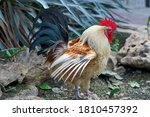 A Rooster With A Red Comb...