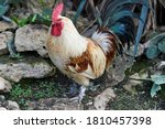 Rooster With A Red Comb And...