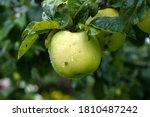 Light Green Ripe Apple On A...