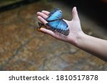 The Blue Morpho Butterfly ...