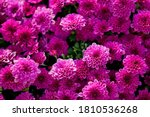 Chrysanthemums Blossom In The...