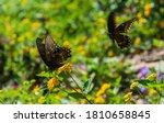 Black Swallowtail Butterflies ...