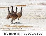 Young Australian Emu Birds In...