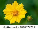 Yellow Flower With Yellow...