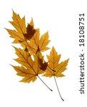 Small photo of Yellow leaves of Silver maple (Acer saccharinum) isolated on white